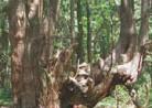 20190903山形観光(戸沢村)「幻想の森」土湯杉群生地 (最上峡)