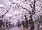 20210327花見「青山霊園の桜」